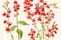 © Kerri Weller, Cardinal Flower, Lobelia cardinalis